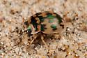 Round Sand Beetle - Omophron dentatum