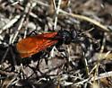 Hawk Wasp ?? - Calopompilus pyrrhomelas - female