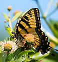 Eastern tiger swallowtail - Papilio glaucus