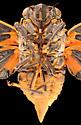 Cicada, male ventral - Okanagana hesperia - male
