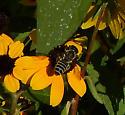 Black and white striped bee - Megachile - female