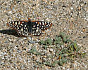 Is this an Edith's Checkerspot, or ? - Euphydryas chalcedona - male