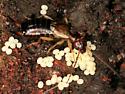 European Earwig - Forficula auricularia - female