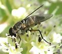 DIpteran - Stonemyia - male