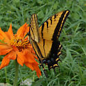 huge yellow and black butterfly - Papilio multicaudata