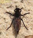Proctacanthus rufus/hinei - male