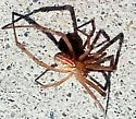 A friend's Arizona (Phoenix) Spider - need identify - Latrodectus hesperus