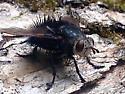 Largish Black Fly - female