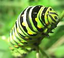 Catapiller - Papilio polyxenes
