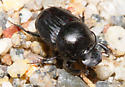 Onthophagus taurus - male