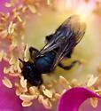 Mining Bee - Andrena - female
