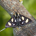 Eight-spotted Forester? - Alypia octomaculata