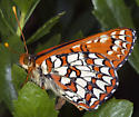 Which subspecies? - Euphydryas chalcedona