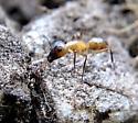 Camponotus sp? - Camponotus festinatus
