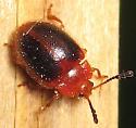 Stenotarsus hispidus