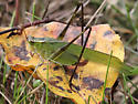 Fork-tailed Bush Katydid? - Scudderia - female