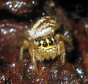 Jumping Spider  - Eris floridana - male