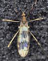 Tipulomorpha - Erioptera venusta