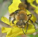 Dunning's Andrena? - Andrena dunningi