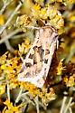 Moth - Euxoa recula