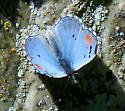 Sonoran Blue - Philotes sonorensis - male