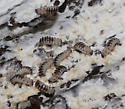 Fungus Beetle larvae - Ischalia vancouverensis