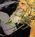 Peucetia viridans with egg sac - Peucetia viridans - female