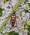 BeetleLonghornFlower_Typocerus_velutinus07172017_OR_ - Typocerus