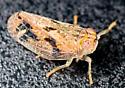 Leafhopper - Thionia bullata