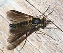 Bee Fly - Thevenetimyia