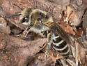 Colletes Bee - Colletes inaequalis - female