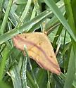 Moth.02 - Haematopis grataria - male