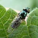 Microchrysa polita - female - Microchrysa polita - female