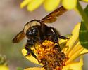 Bumble Bee with half black/yellow thorax - Bombus auricomus
