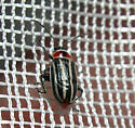 Beetle - Disonycha