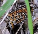 Arizona Butterfly - Microtia dymas