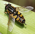 Helophilus sp.  H. faciatus? - Helophilus - male