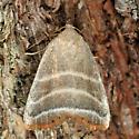 Straight Lined Mallow Moth - Bagisara rectifascia