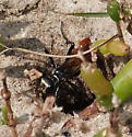 wasp in fiddler crab holes - Prionyx