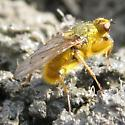 Dung Fly - Scathophaga stercoraria - male