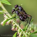 Copulating flies - Taeniaptera trivittata - male - female