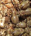 Orthopteran nymph? - Cerastipsocus venosus