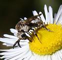 Hymenoptera-Zacosmia maculata - Zacosmia maculata