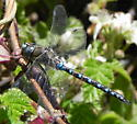 Blue Dragonfly - Rhionaeschna californica - male