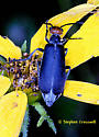 Blister Beetle with Red Head - Epicauta atrata