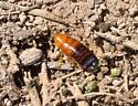 Desert Wood Cockroach - Parcoblatta desertae - Parcoblatta desertae