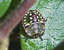 Southern Green Stinkbug Nymph? - Nezara viridula