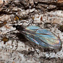 November Fly - Catocha barberi
