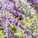 Bumble Bee? - Xylocopa virginica