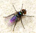 unknown blue, black fly - Chrysotus bellus